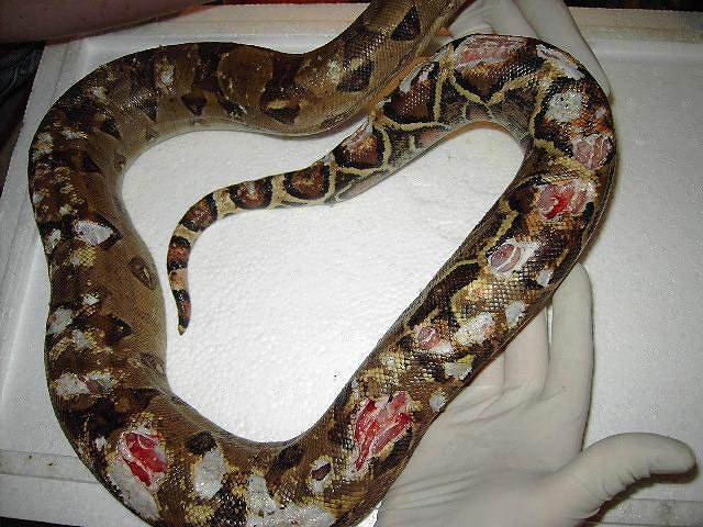 elevage souris pour serpent