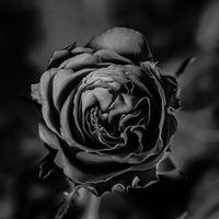 Quand une belle rose rouge devient noire...