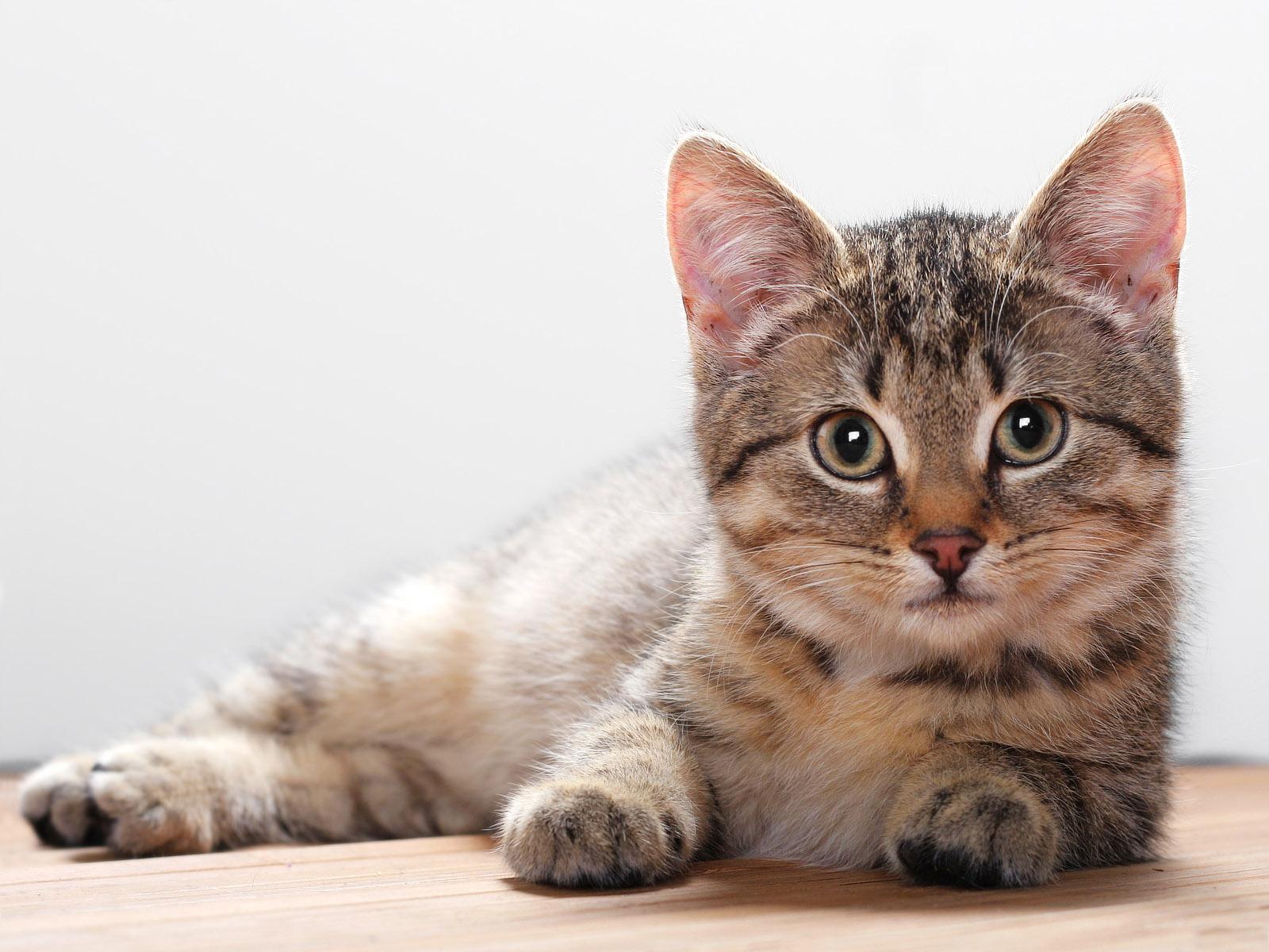 Images de chats en HD