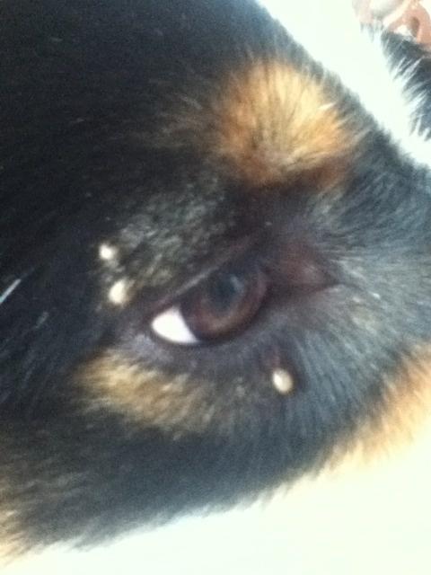 petites boules autour des yeux de mon chien m decine v t rinaire forum animaux. Black Bedroom Furniture Sets. Home Design Ideas
