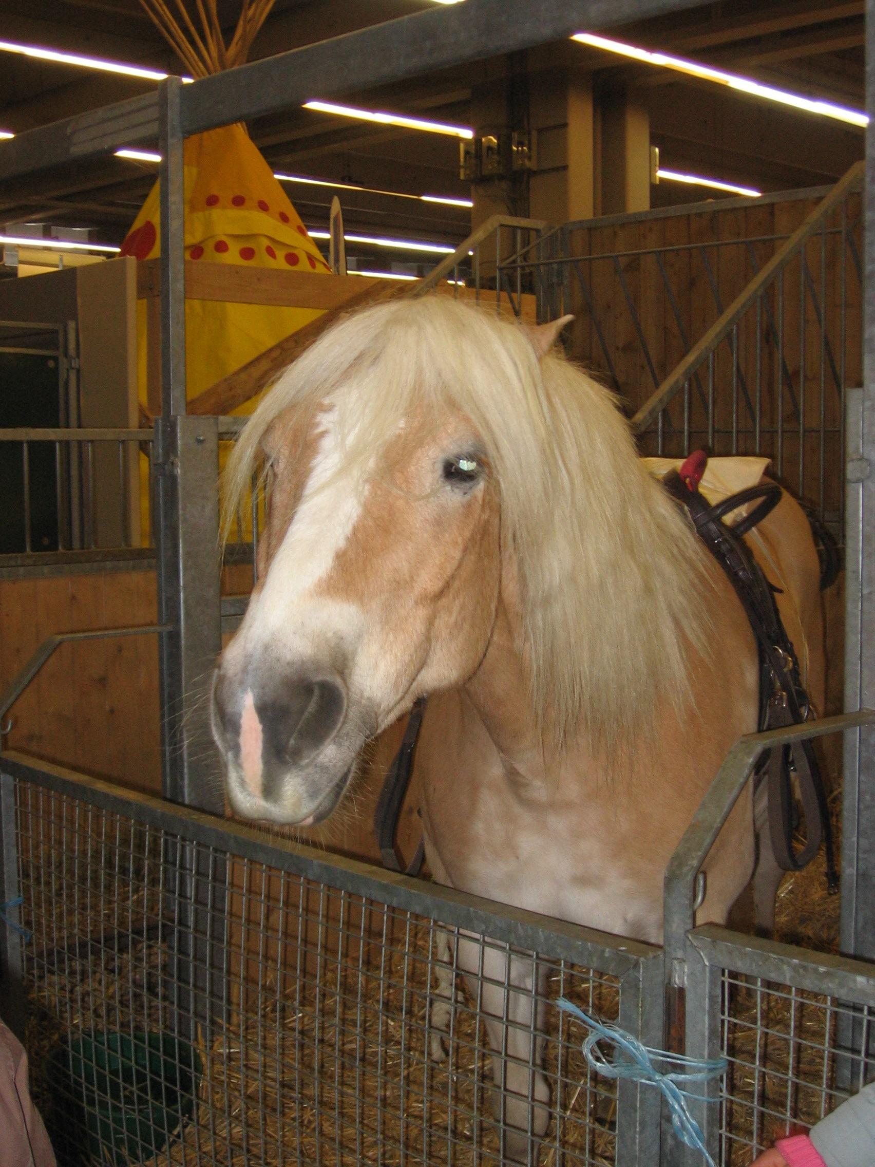 est un Haflinger qui était au salon du cheval en 2006 à Paris