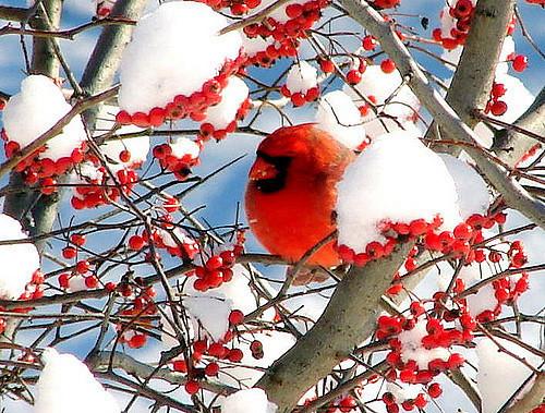 oiseaux hiver 8