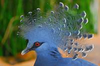 Pigeon-goura-