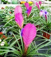 plante-exotique--d'éventail