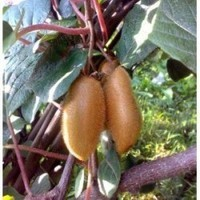 actinidia-chinensis