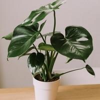 plante-monstera_