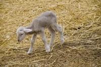 bébé-agneau-