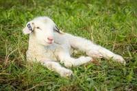-bébé-d-agneau4