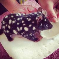 Bébé chat marsupial 3
