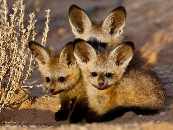 Bébés renards à oreilles de chauve-souris