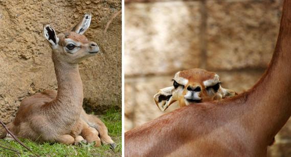 bébé antilope girafe