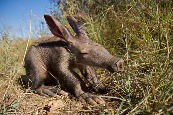 bébé  cochon de terre »