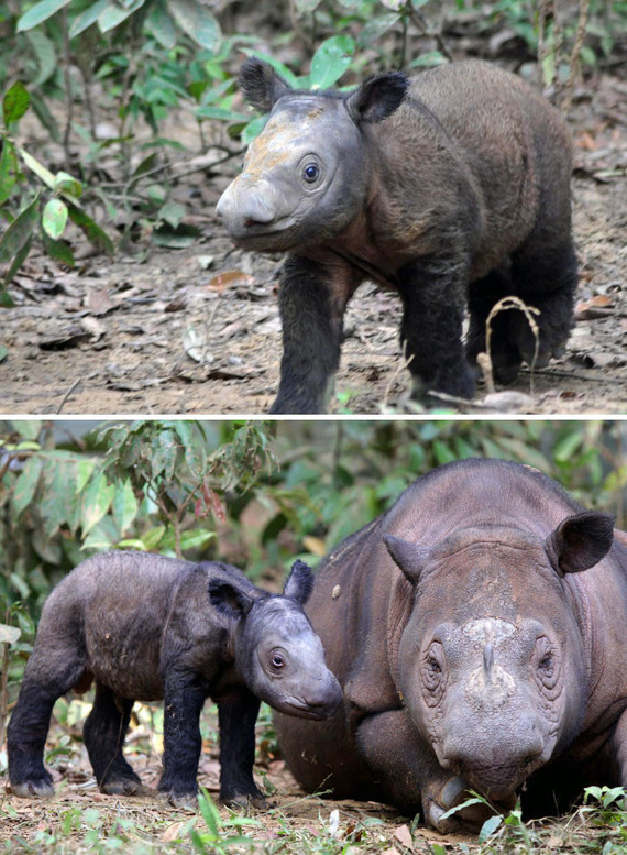 bébé rhinocéros de Sumatra