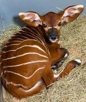 bongo-baby