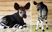 Le bébé okapi