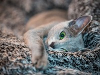 chat-bleu-russe