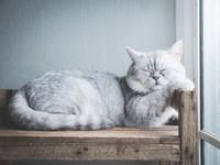 -chat-britannique-
