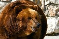 bear-animals-