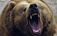 bear_33