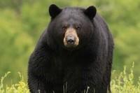 Black-Bear-3