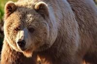 european-bear
