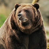 grizzly-bear-2