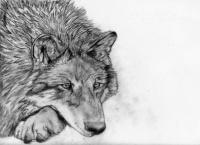 Loup Lucas 1