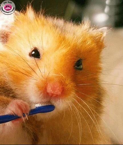 hamster_brossedents