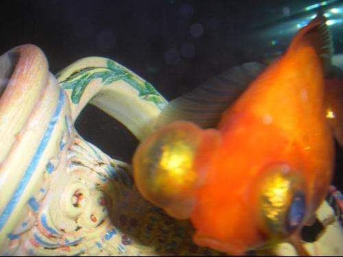 Poisson japonais malade oeil aquariums et vivariums for Poisson rouge japonais