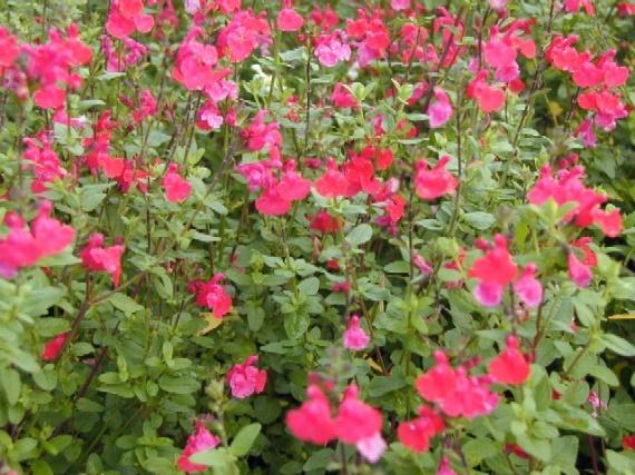 sauge rose terraqse
