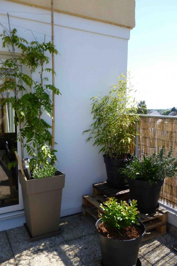glycine du japon rose, lavande, bambous, lila des indes