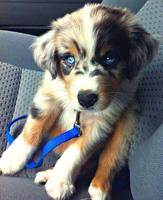 Golden Retriever - Husky mix.