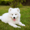 samoyede dog