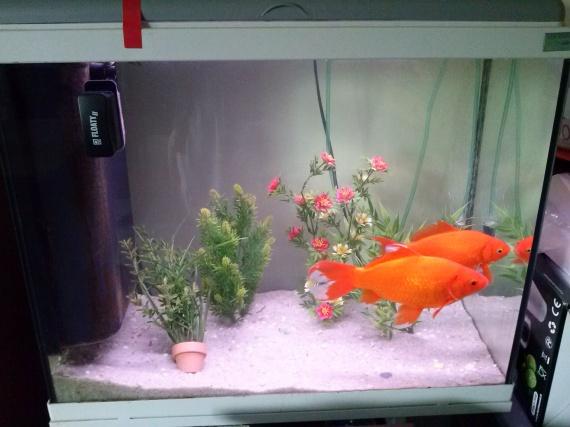 Mes poissons rouges malade aquariums et vivariums for Nourrir des poissons rouges