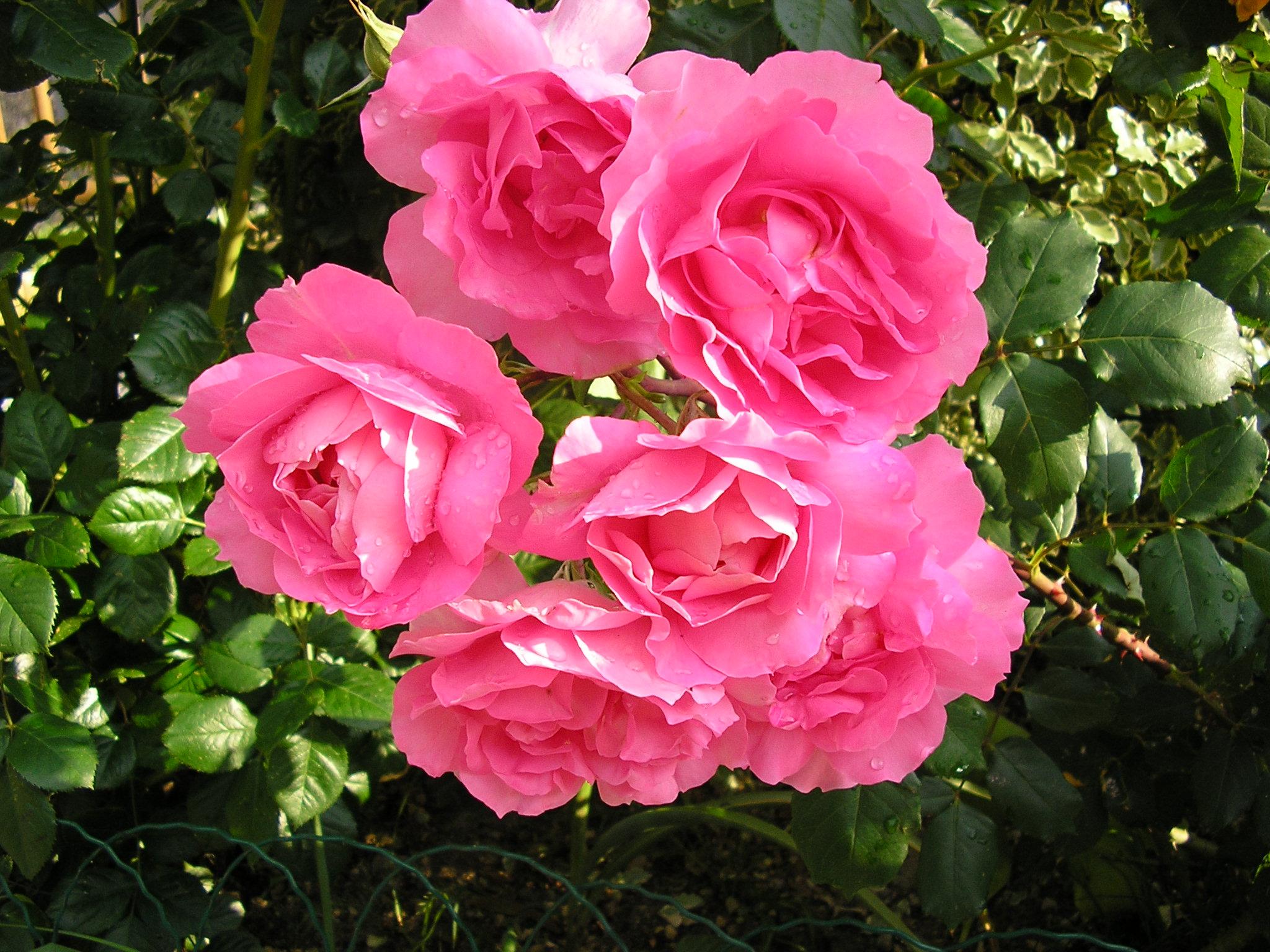 Roses jardins et fleurs wam06 photos club doctissimo for Fleurs et jardins