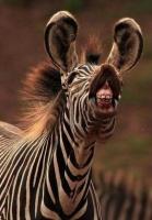 Zebre, sourire
