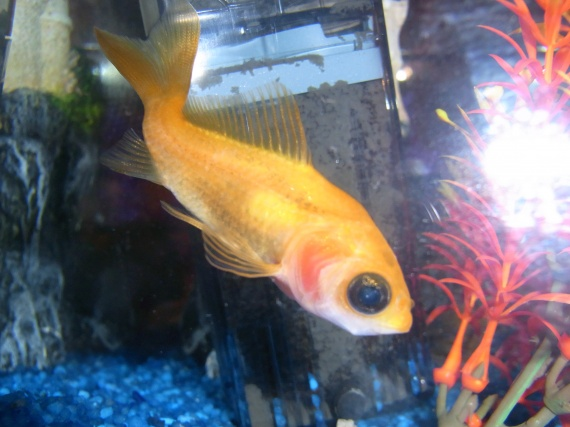 Mon poisson rouge s 39 est coinc derri re la pompe photo for Alimentation guppy poisson rouge