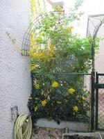 forsythia mahonia