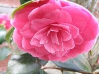 mon camélia en fleurs