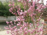 Mon magnolia en fleurs