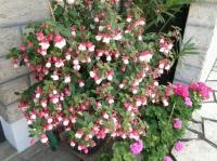 Fuschia en fleurs