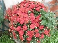 mini chrysanthème