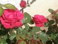 rose rouge du Loiret