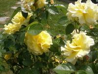roses jaunes de mon jardin