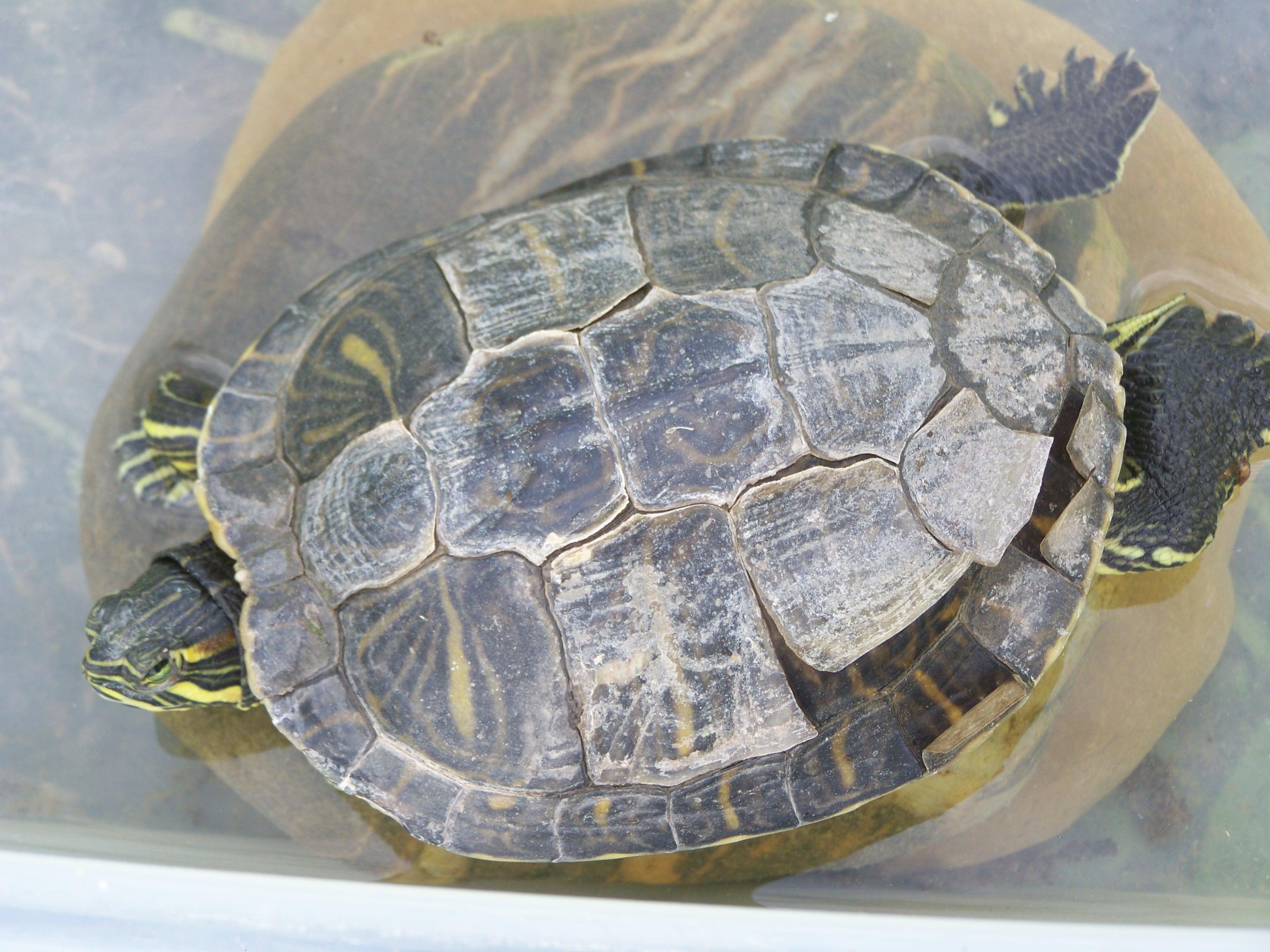 comment passer mes tortues d\'eau a l\'exterieur ??? - Aquariums et ...