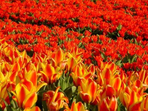 21.champ de tulipes