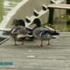 3 canards ponton