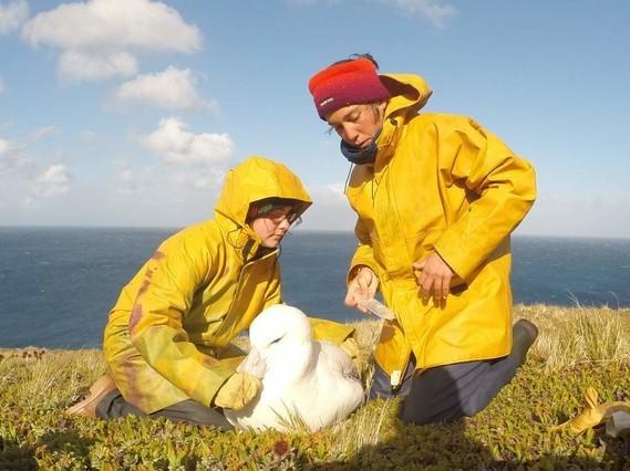 Pose d'un GPS protection des albatros