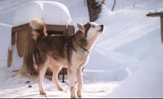 chien-eskimo1