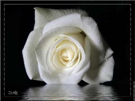 galerie-membre,fleur-rose,rose-blanche-de-zvrki